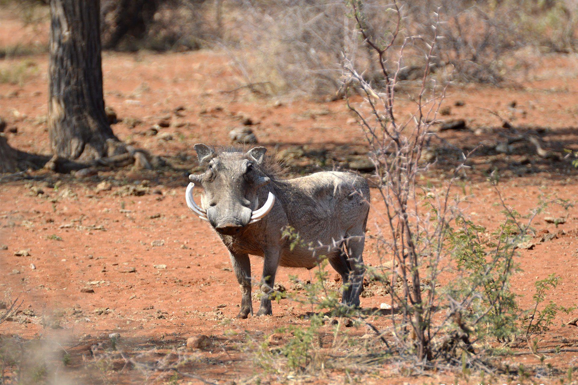 Afrikanischer Warzenschweinkeiler