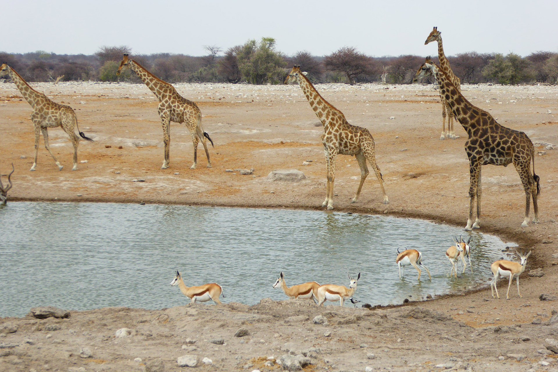 Giraffen am Wasserloch in Namibia