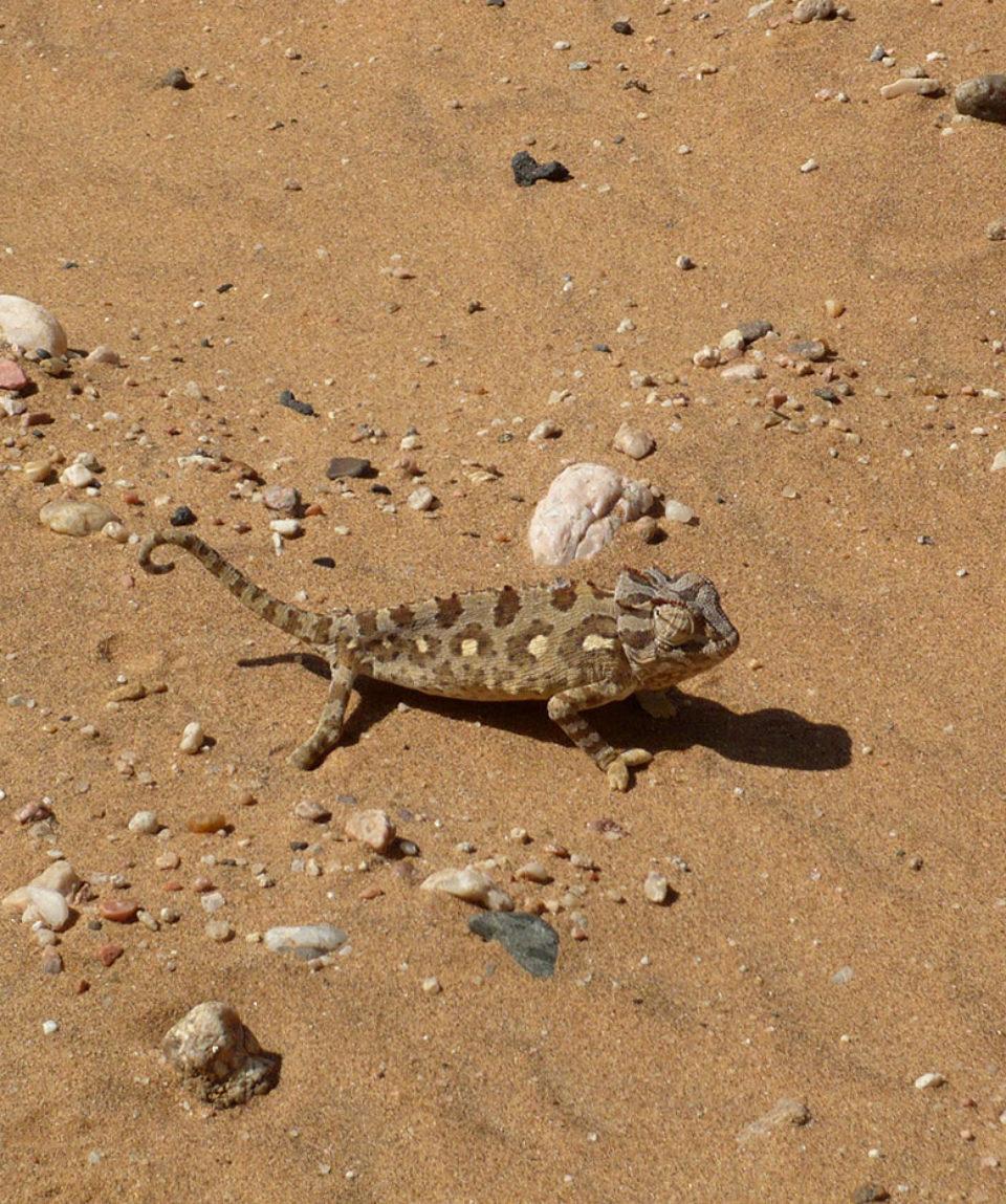 Chamaeleon nahe Swakopmund