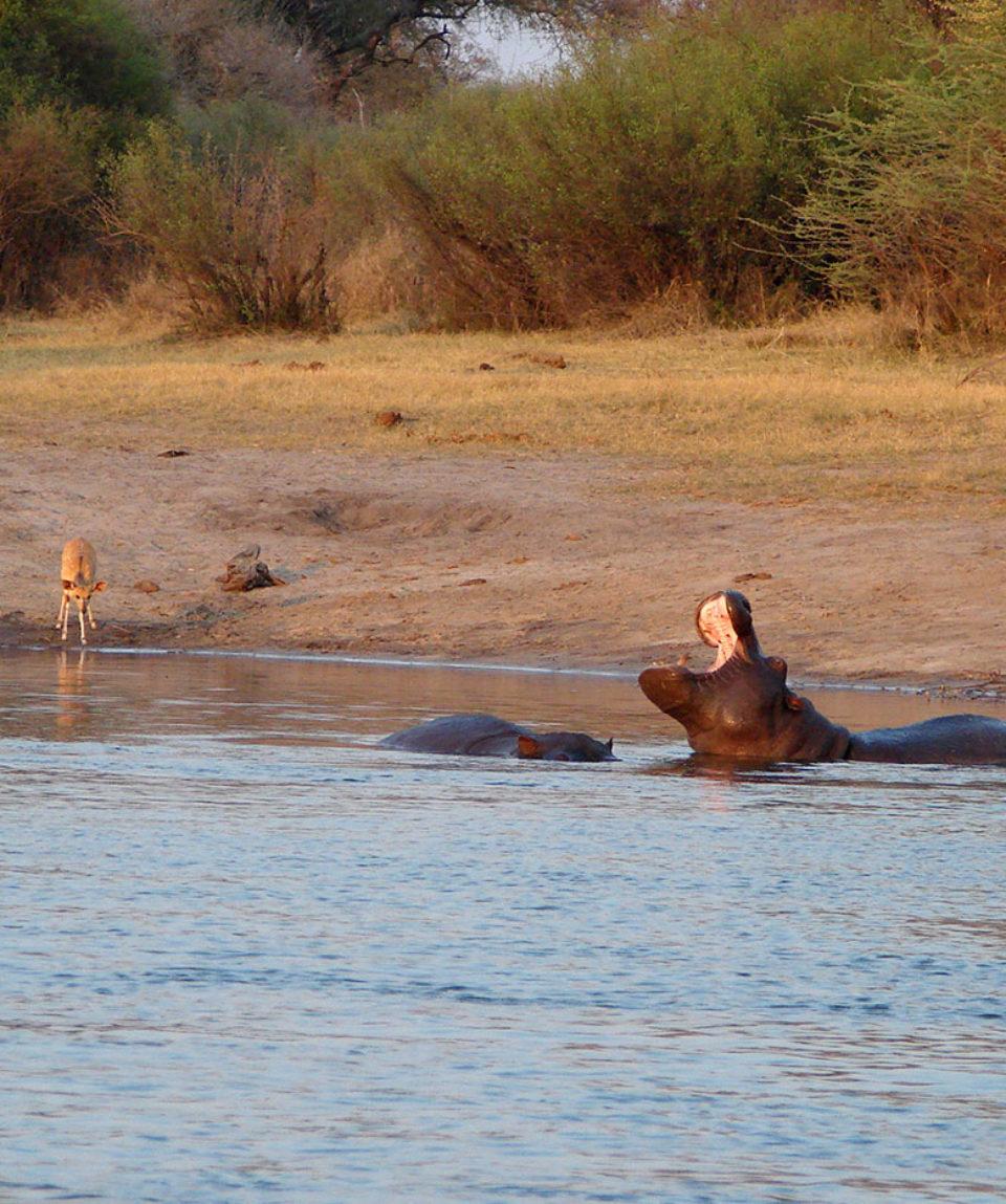 Nilpferde am Okavango