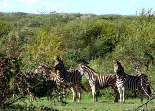 Bestaunen Sie Zebras in ihrer freien Wildbahn bei einer Safari.